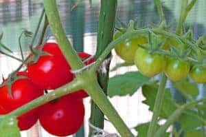 7 Delicious Container Garden Veggies